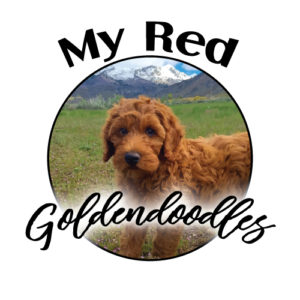 My Red Goldendoodles